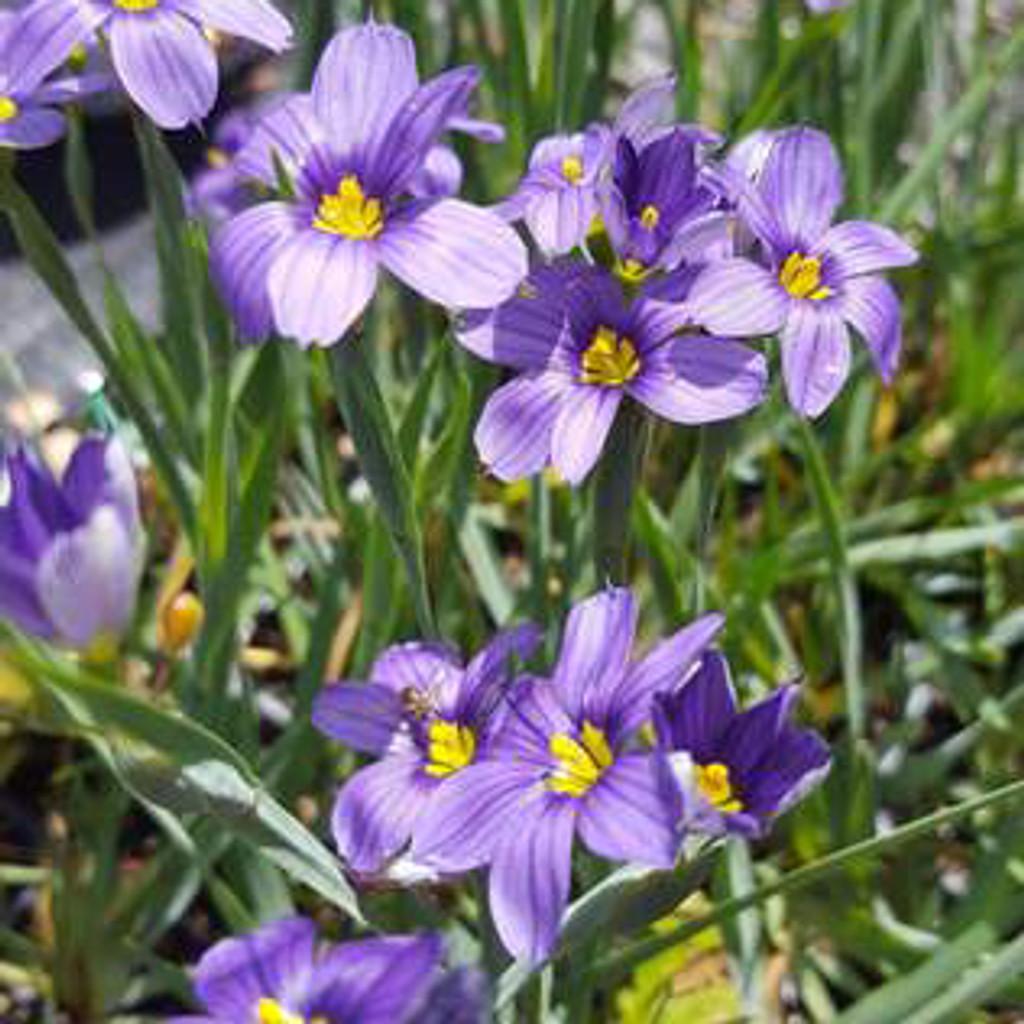 Blue Eyed Grass (Sisyrinchium angustifolium)