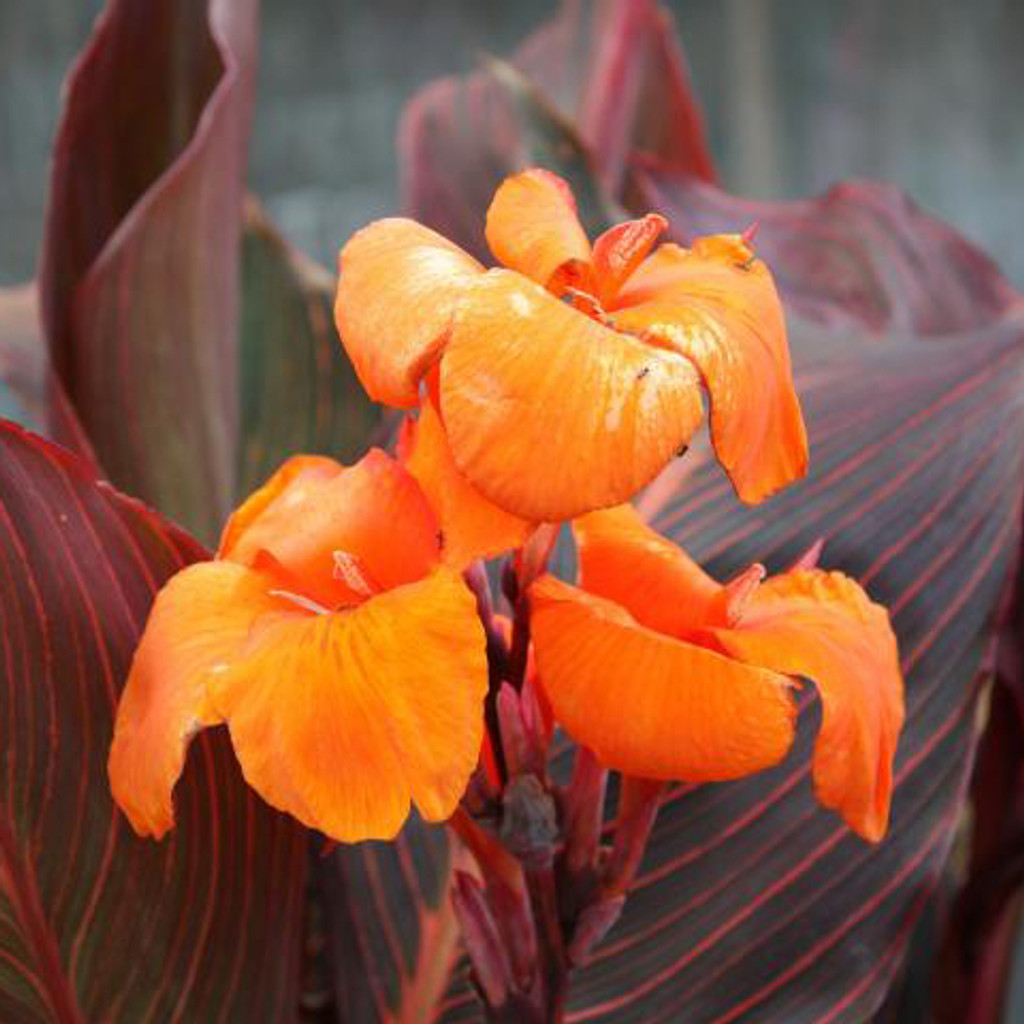 African Sunset Canna, Tropical pond plants