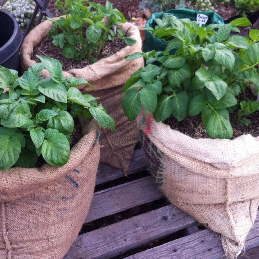 Planting in Burlap Bags