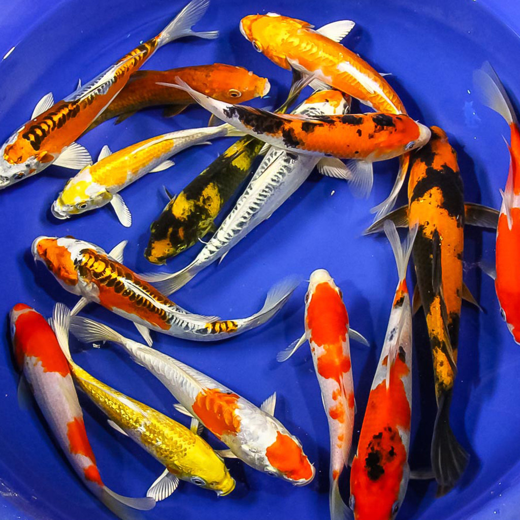 Specialty Japanese Koi