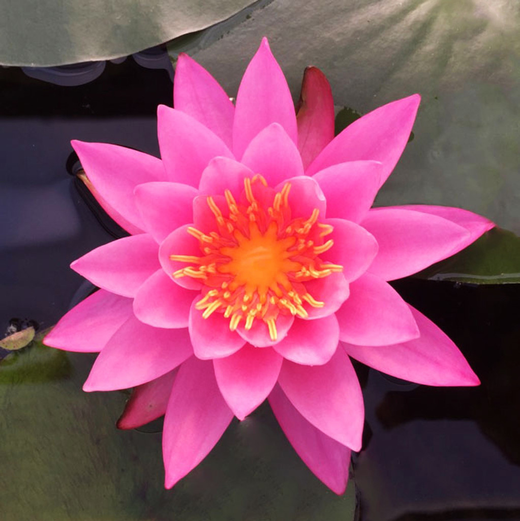 Mayla Fushia Pink - Hardy Water Lily
