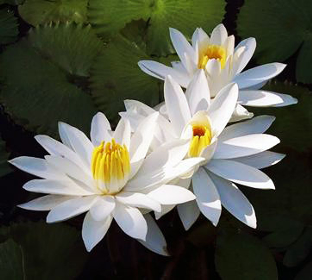Trudy Slocum - Tropical Water Lily (Night Bloomer)