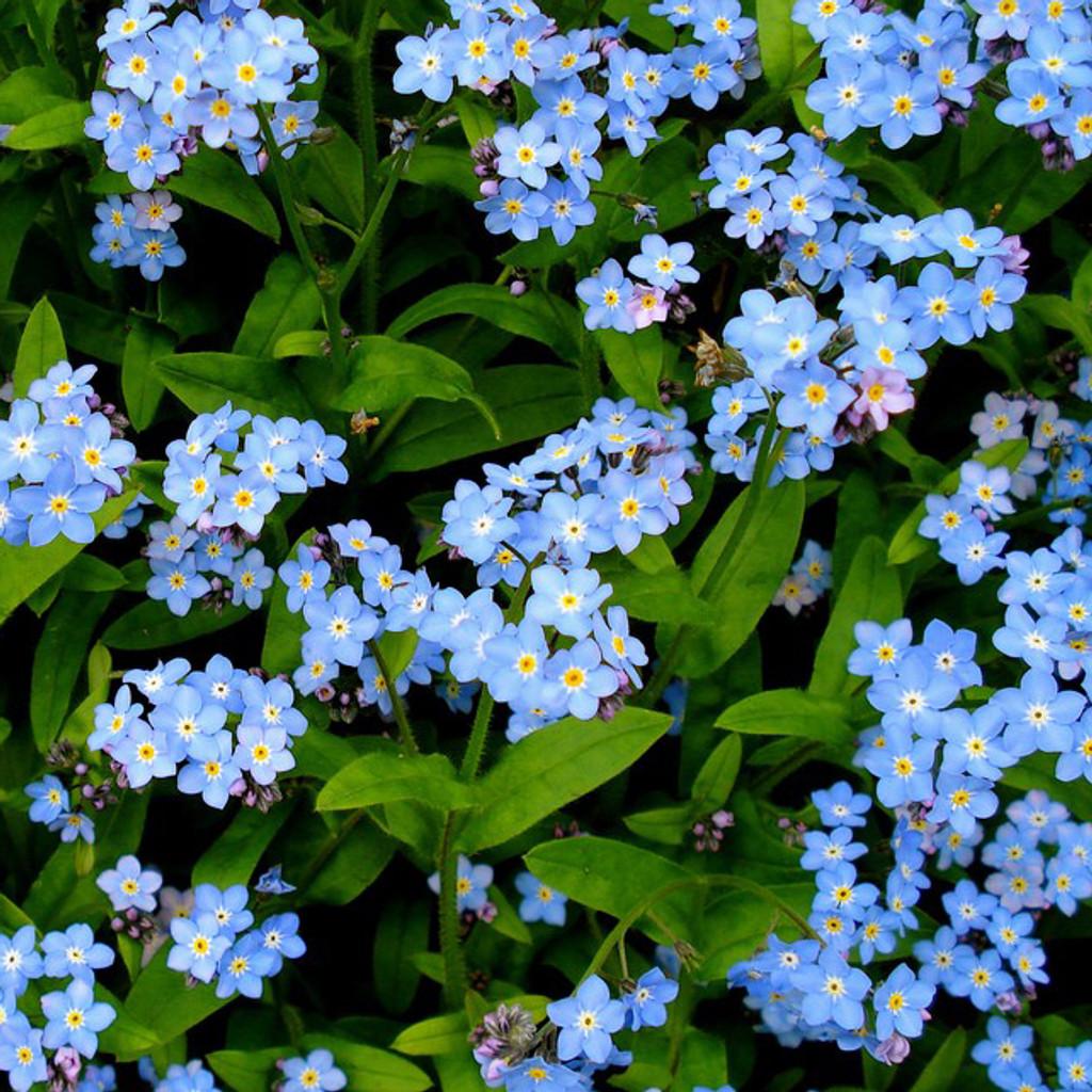Blue Forget-Me-Nots (Myosotis sciproides)
