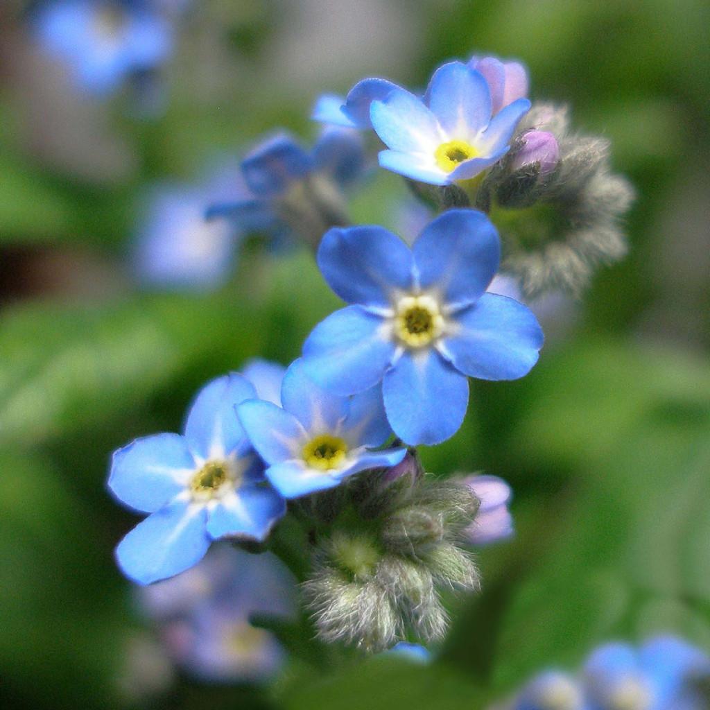 Blue Forget-Me-Nots