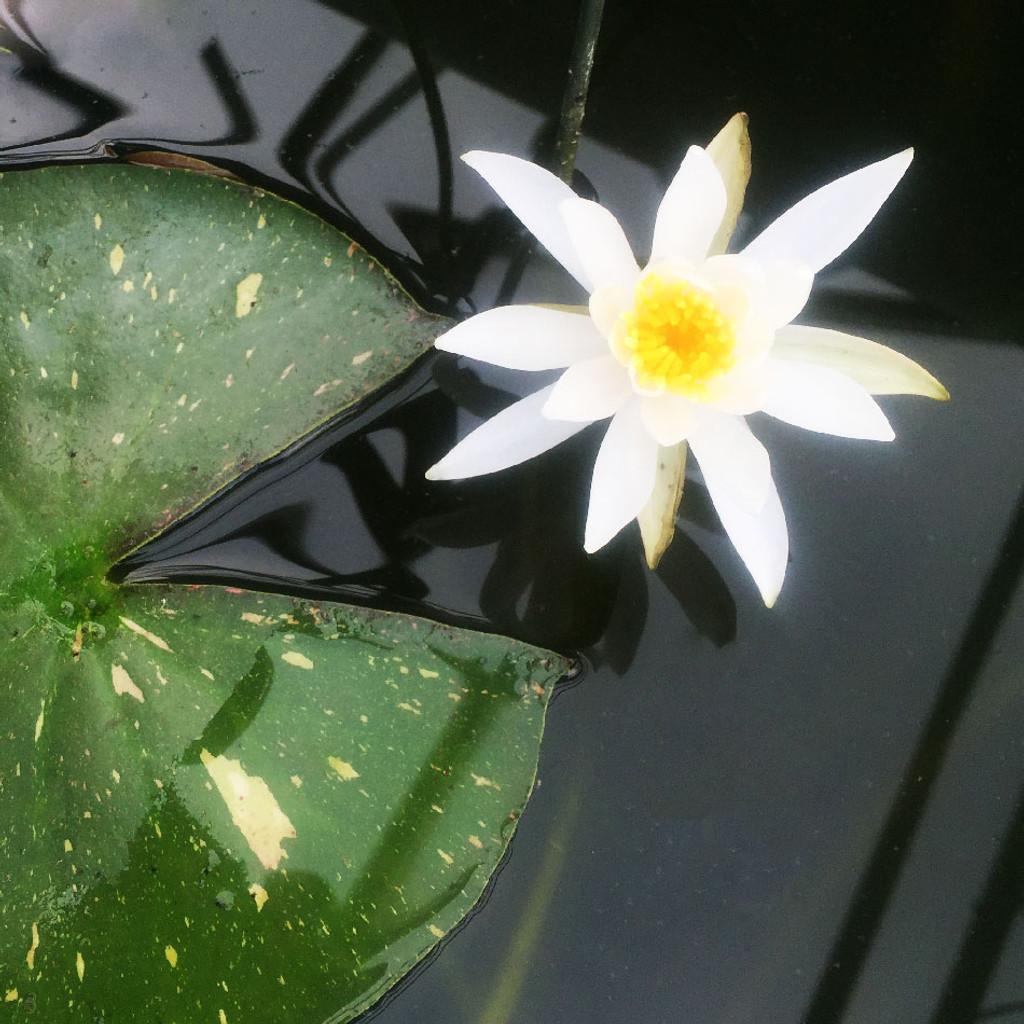 'Arc-en-ciel' Pink - Hardy Water Lily