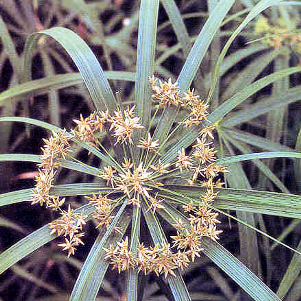 Umbrella Palm