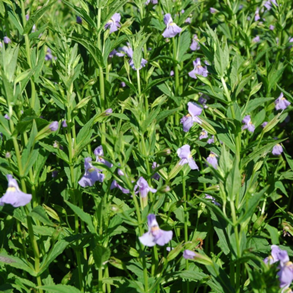 Lavender Musk pond plant