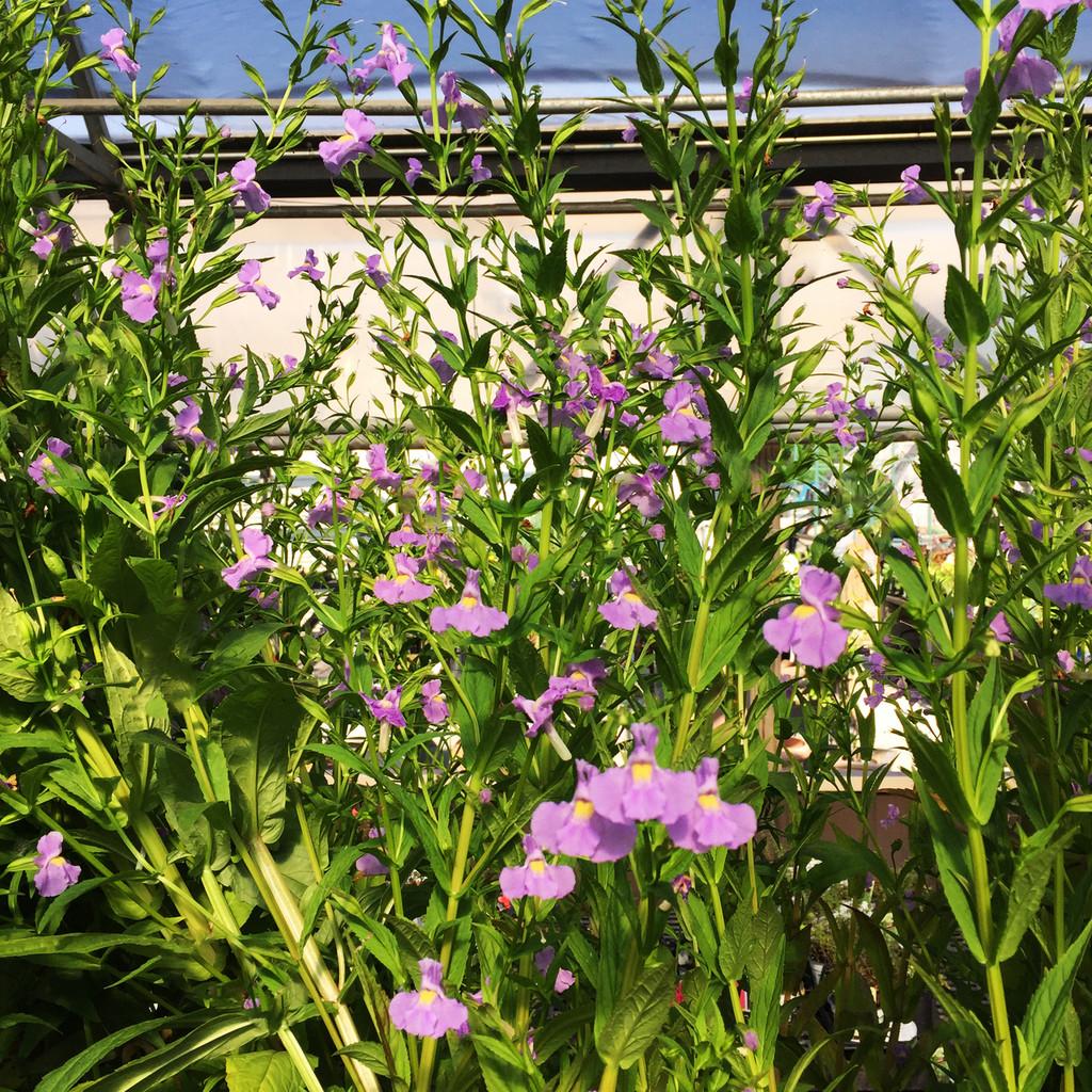 Lavender Musk (Mimulus ringens)