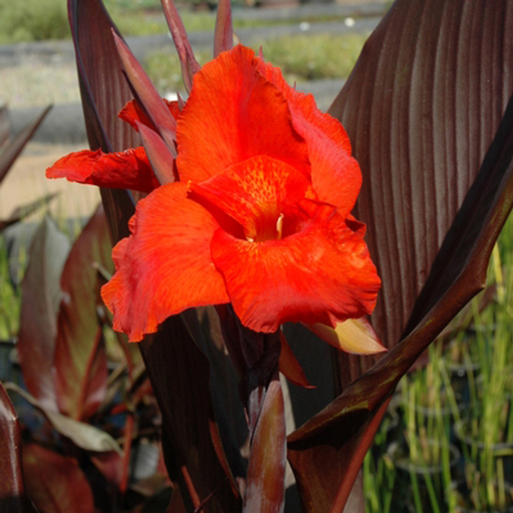 Australian Red Canna