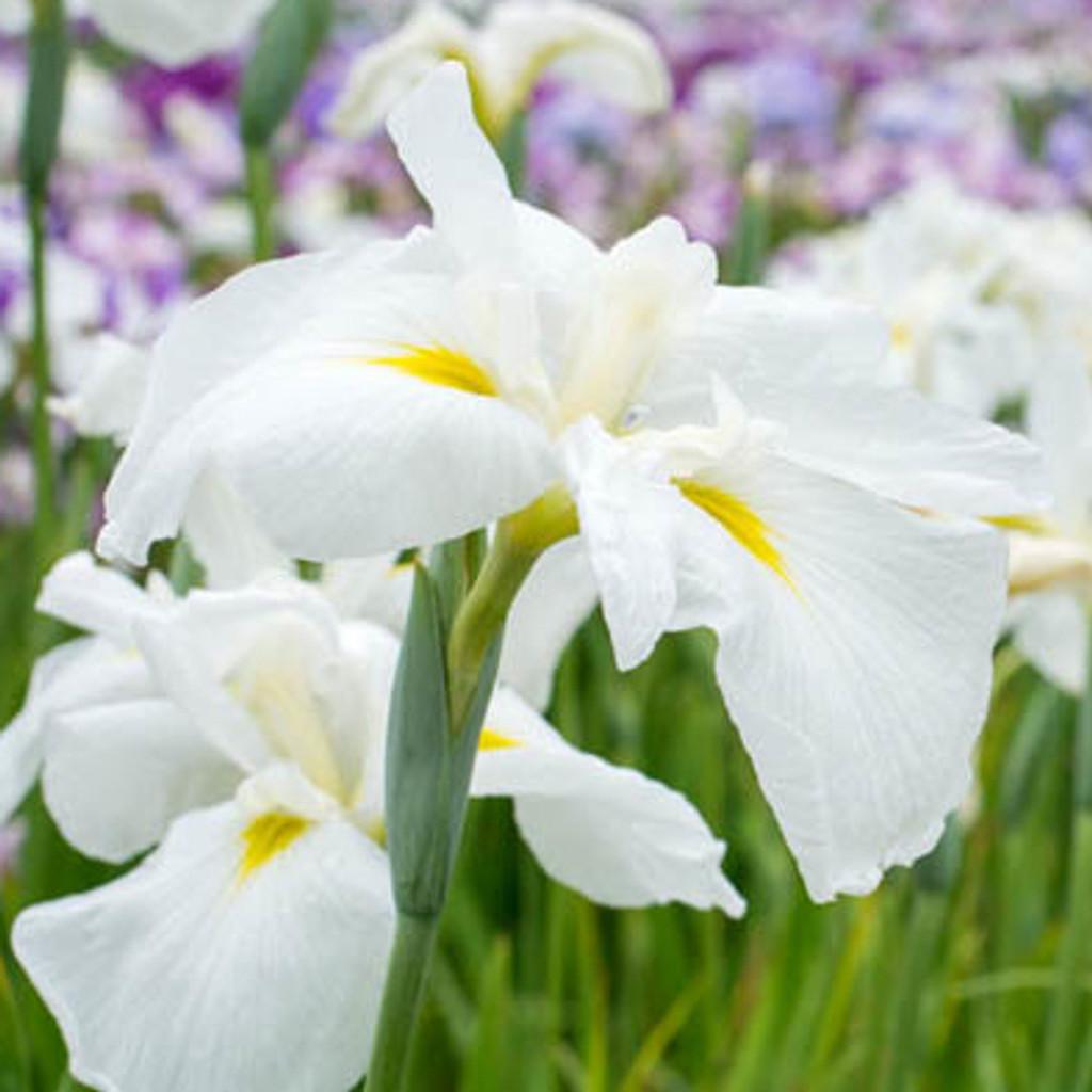 Alba White Water Iris (Iris cristata)