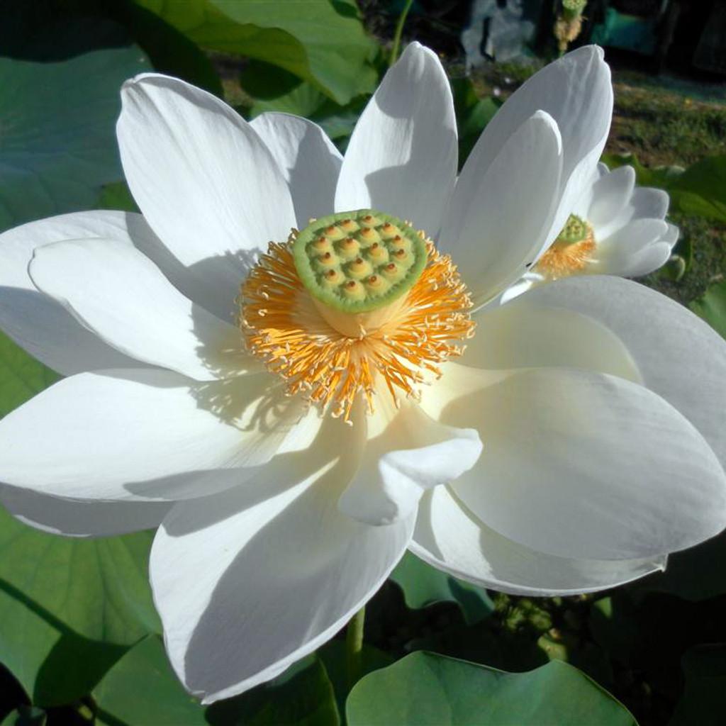 Alba Grandiflora White Lotus