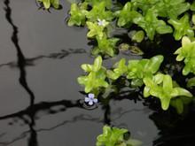 Lemon Bacopa pond plant