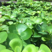 Four Leaf Water Clover