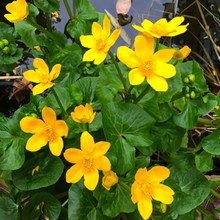 Giant Marsh Marigold