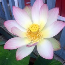 Nucerfernia Lotus