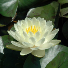 Double Lemon Chiffon - Hardy Water Lily