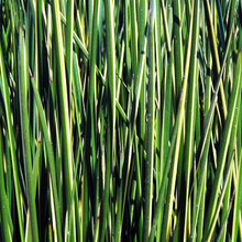 Variegated Striped Rush