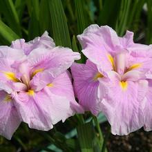 Pink Melody Water Iris