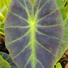 """Imperial Taro """"Elephant Ears"""" (Colocasia illustris)"""