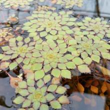 Mosaic Plant