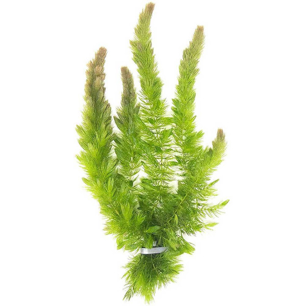 Hornwort: An oxygenating pond plant that helps keep your pond water crystal clear.