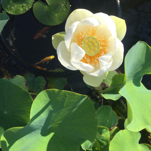 Giant Sunburst Lotus
