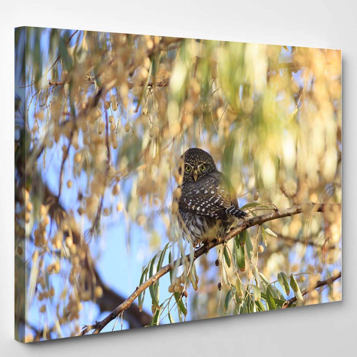 Northern Pygmy Owl Perches Russian Olive - Canvas Wall Art