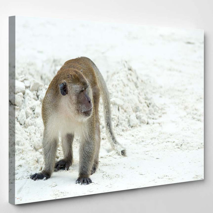 Aggressive Monkey Beach Crabeating Macaque Phiphi - Canvas Wall Art