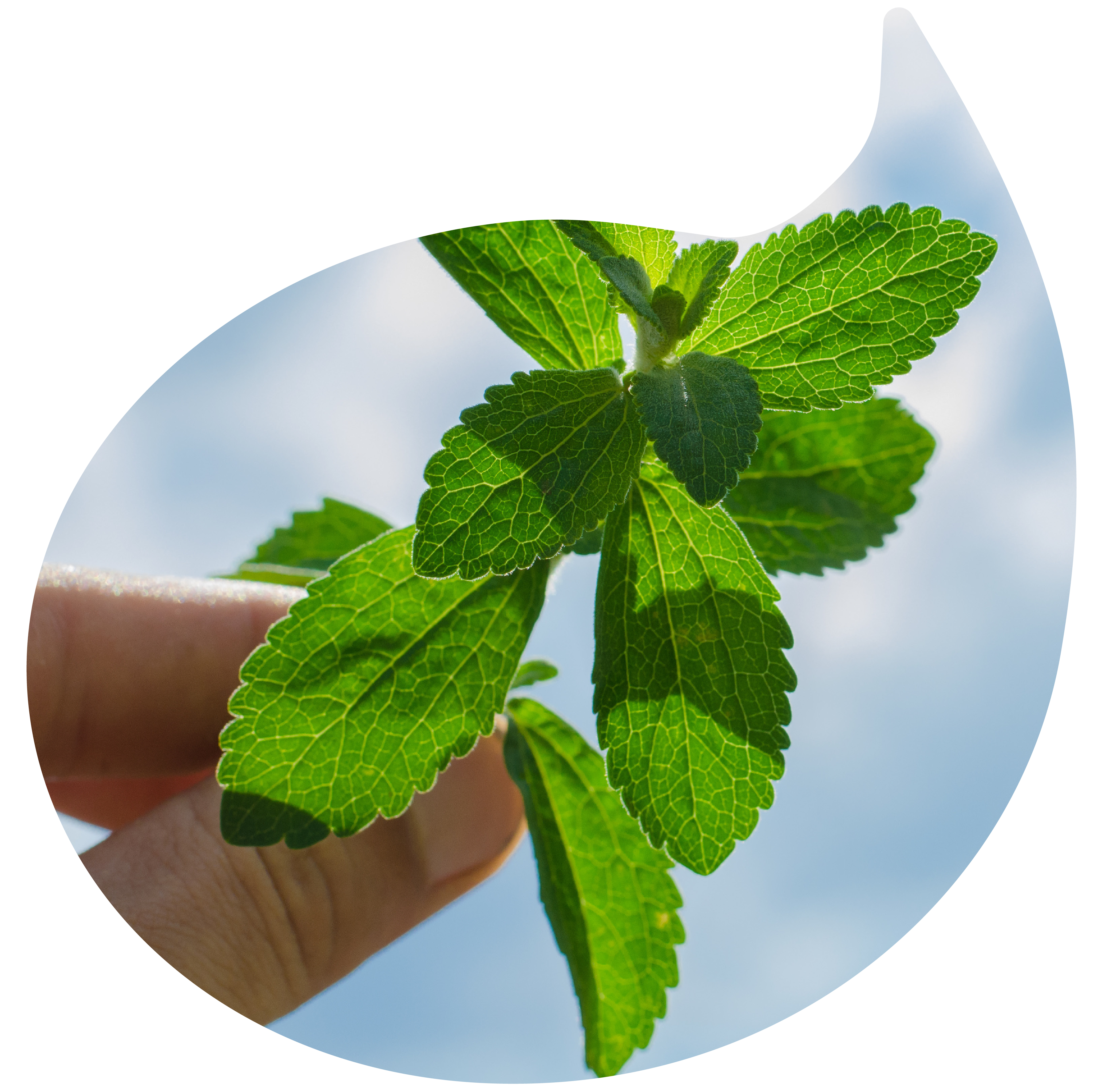 2-stevia.jpg