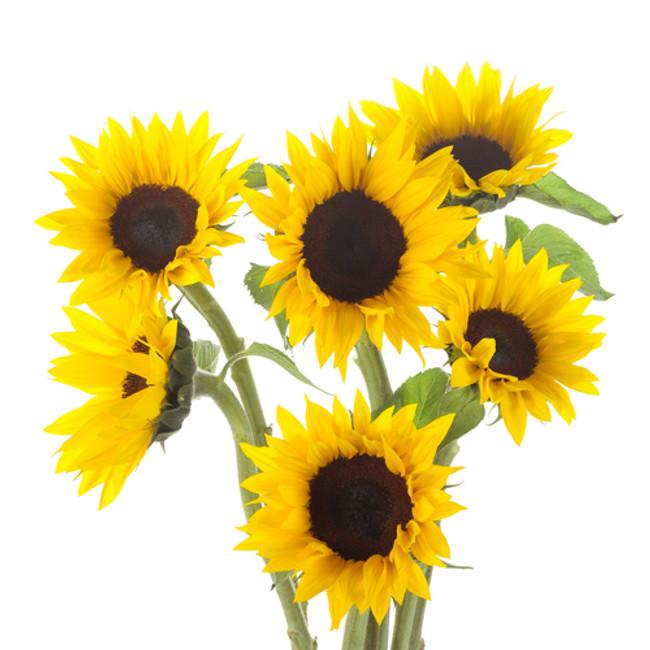 Sunflower Mini misty(10st)