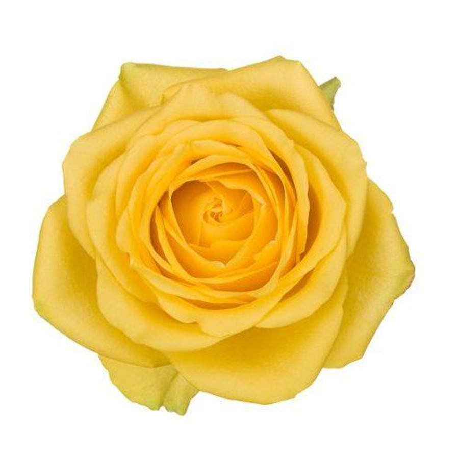 Rose Latina 50cm priv coll rio
