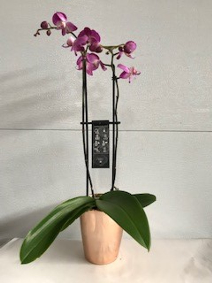 "5"" BLOOMING DBL PHAL CLAY"