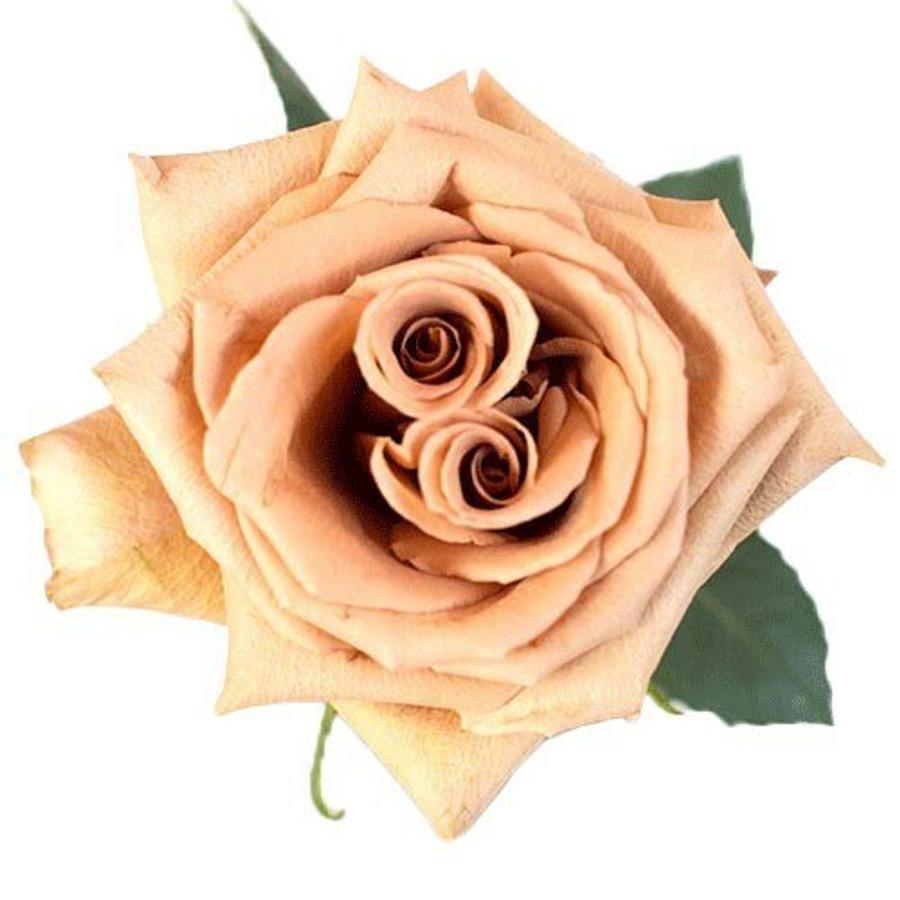 Rose Toffee 50cm holex