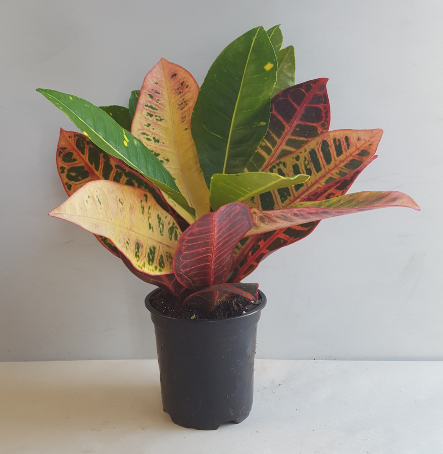 """4"""" POTTED CROTON ASST."""