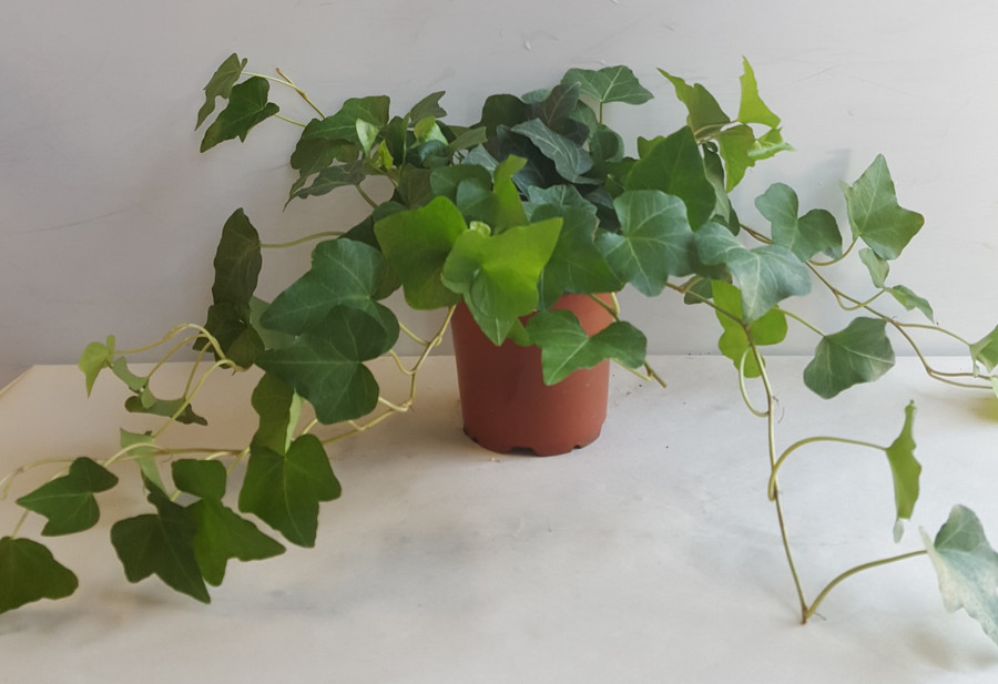 """4"""" POTTED GREEN IVY"""