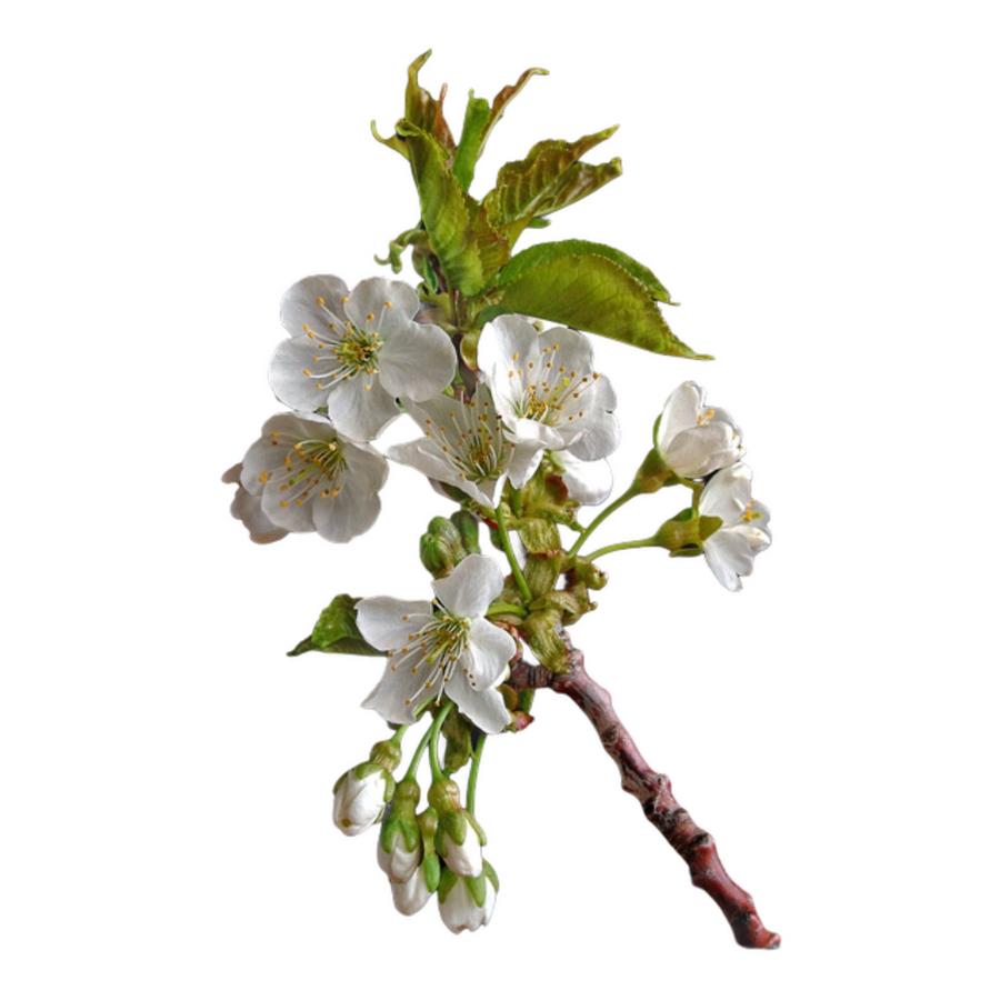 Branch Cherry White quick