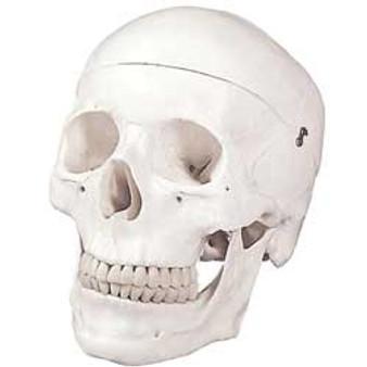Walter Products Human Skull 9x6x6