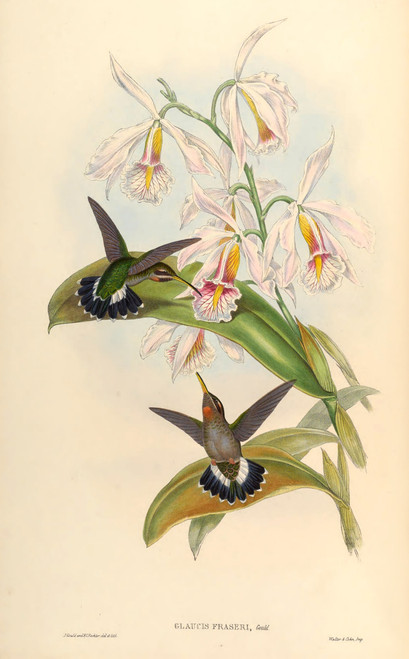 High Resolution Vintage Hummingbird Prints by John Gould (Download)
