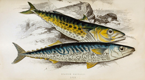 High Resolution Antique Fish & Sea Creatures Prints (Download)