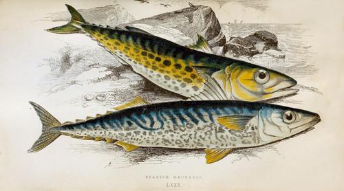 High Resolution Antique Fish & Sea Creatures Prints (Download)