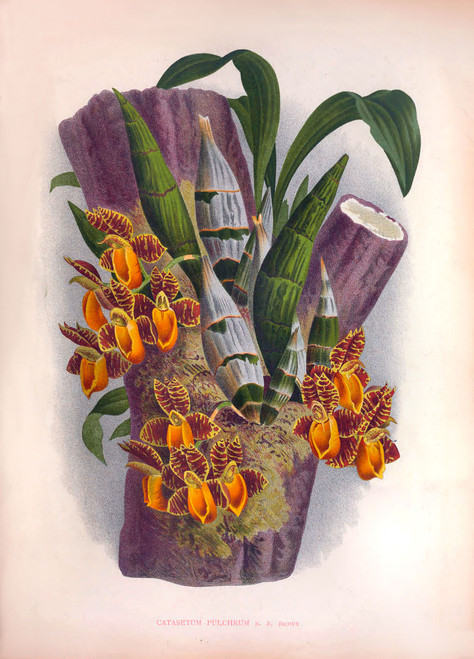 Large Antique Orchid Prints -High Resolution A3 Size Images!
