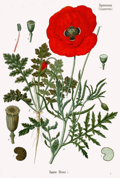 KOHLER HERBS & MEDICINAL PLANTS Antique Prints High Res. Images - Download