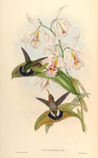 High Resolution Vintage Hummingbird Prints by John Gould (Download)