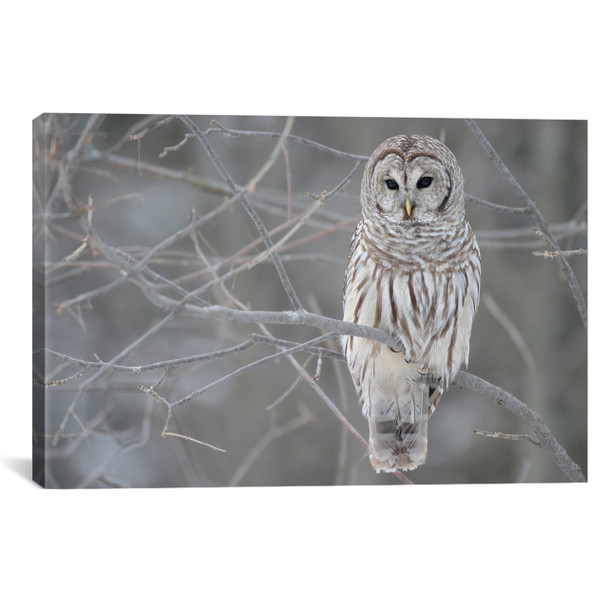 iCanvas ''Barred Owl on Branches'' Gallery-Wrapped Canvas Print~7008-1PC3
