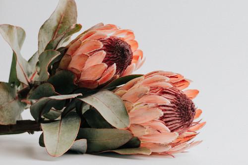 Cone Bush Protea Ceramic  Vase
