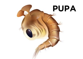 Mosquito Pupa