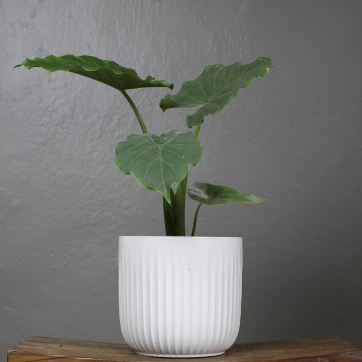 "Kacper Pot 6.5"" White"