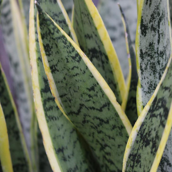 'Laurentii' Snake Plant