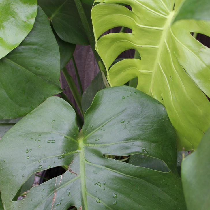 'Split Leaf' Philodendron