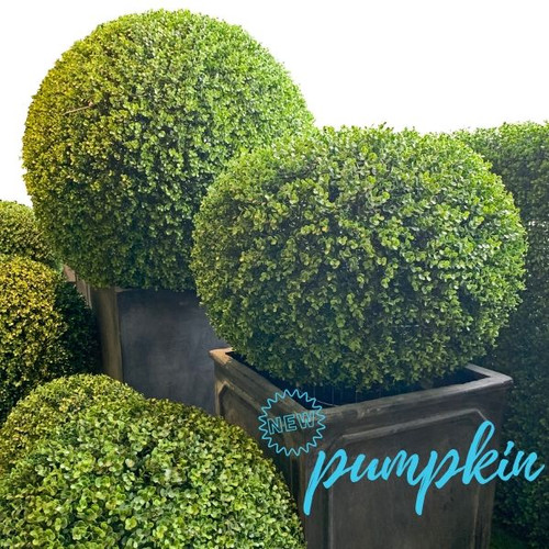 pumpkin boxwood